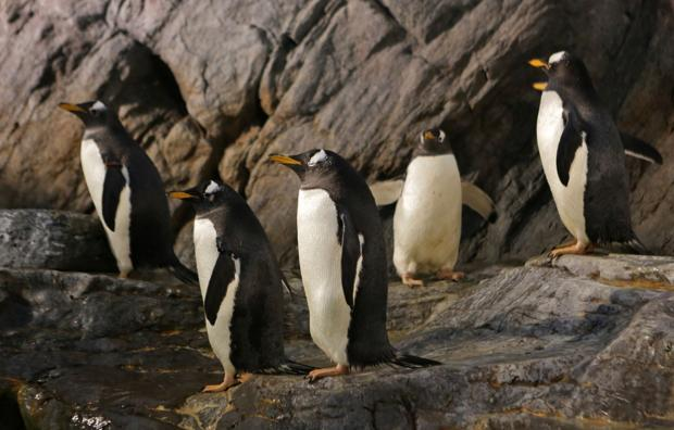 Penguins at the St. Louis Zoo