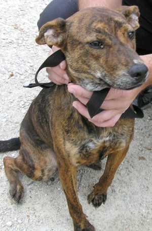 Boxer Whippet Mix Is a boxer/whippet mix
