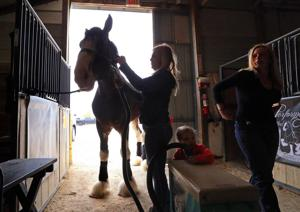 Bidders, spectators pack arena for world's largest Clydesdale sale