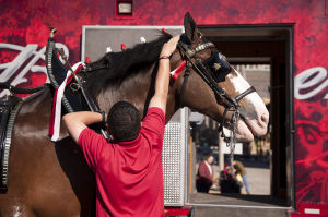 Budweiser Clydesdales to visit China