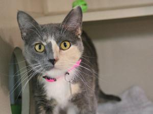 Pet of the Week: Patches, a domestic shorthair cat