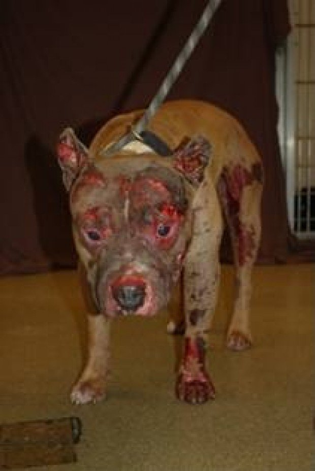Another Dog Dies Of Severe Burns In St Louis News