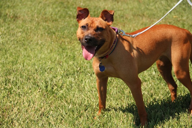 Pet of the week: Diamond, a 1-year-old Basenji and pit bull mix