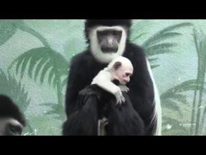 Baby colobus monkey named Ziggy born at St. Louis Zoo