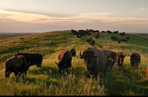 Bison thrive on the Illinois prairie; 14 calves born