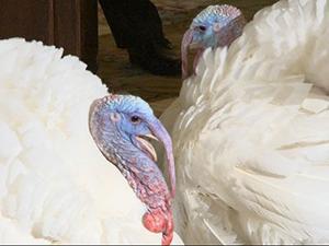 Video: Ohio turkeys selected for Presidential pardon