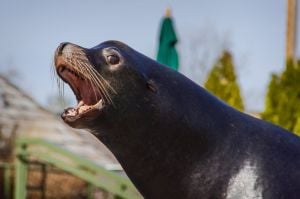 Bennie, the St. Louis Zoo's celebrity-kissing sea lion, dies