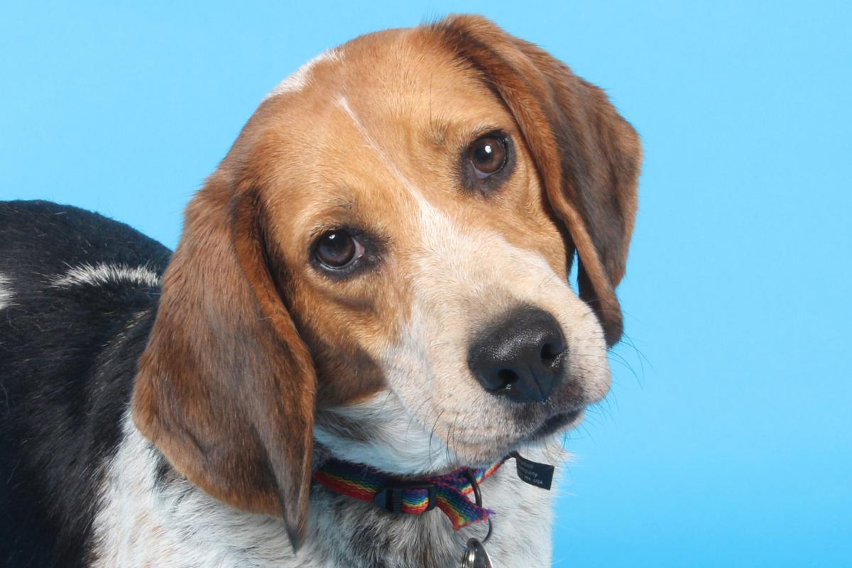 Pet of the Week: Buddy, a 5-year-old beagle | Pets ...