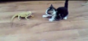 Kitten surprised by lizard