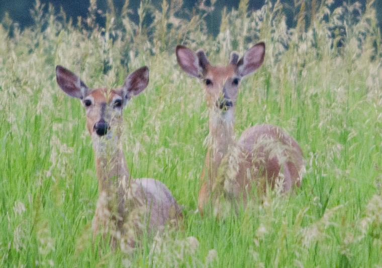 Deer numbers on the rise - Savage Pacer: Sports