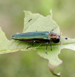 Emerald ash borer in Prior Lake: what's next?