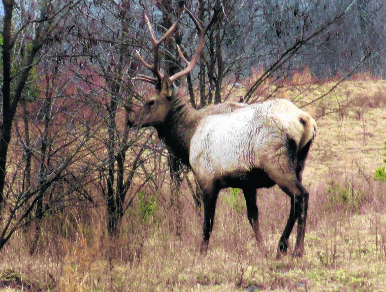 Group Of Elk - Big Tits Fat