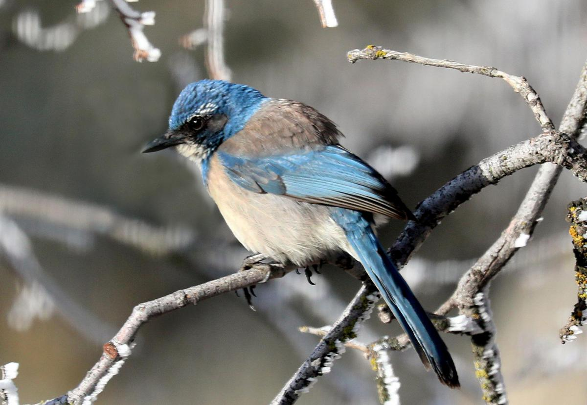 Natural Sightings California Scrub Jay