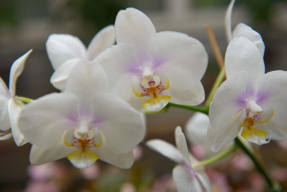 For blue-ribbon gardener, love of orchids blooms late in life _lowres
