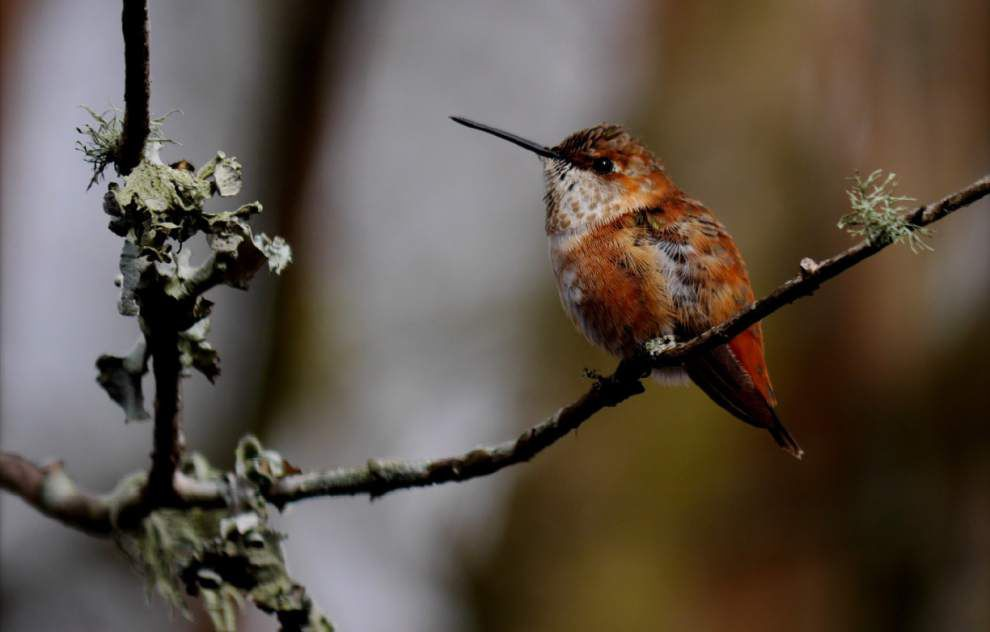 Hummingbird viewing program set for Friday, Saturday in Baton Rouge _lowres