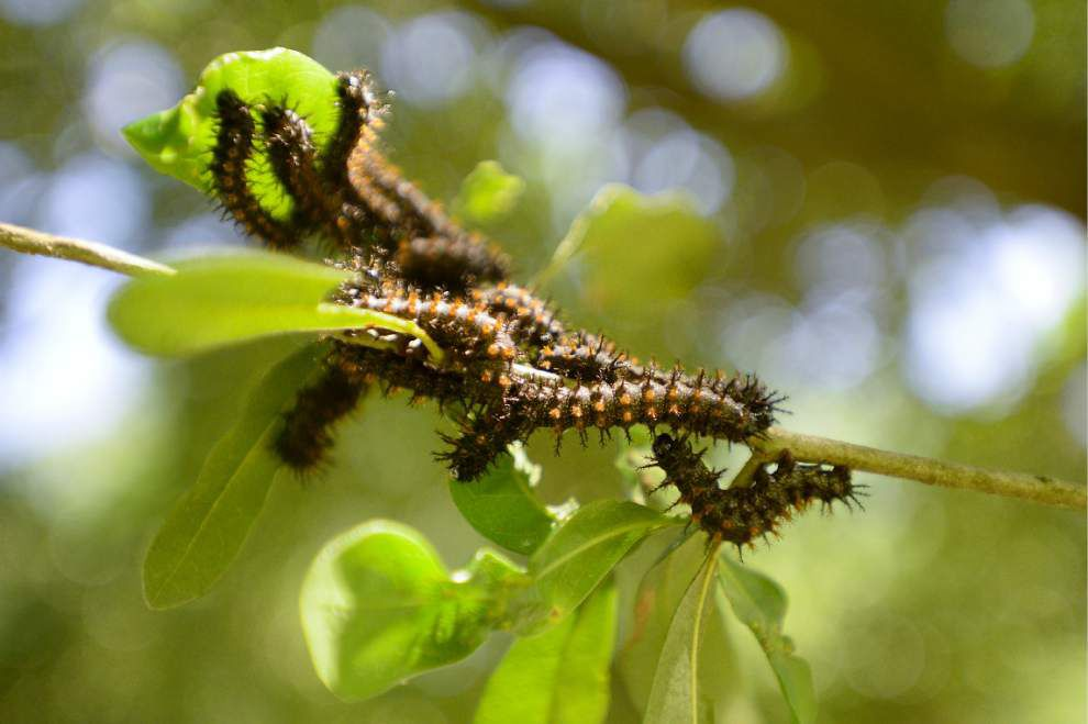 Scientist sees no signs yet of rise in caterpillar population _lowres