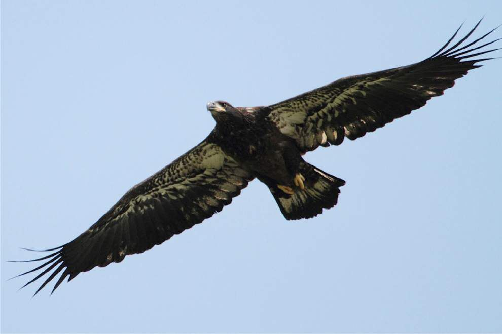 Researcher finds Louisiana eagles cool off in Canada _lowres