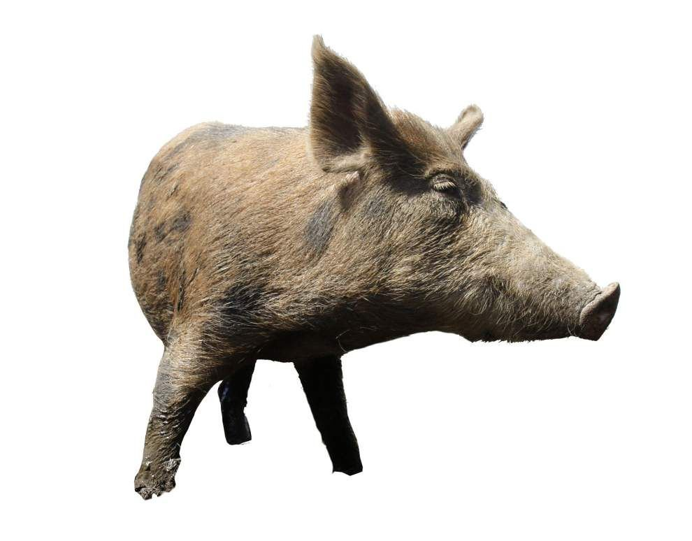 JPSO deputies to begin shooting feral hogs on West Bank levee _lowres