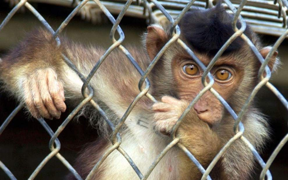 Case of human illness could stem from bacteria at primate center in Covington _lowres