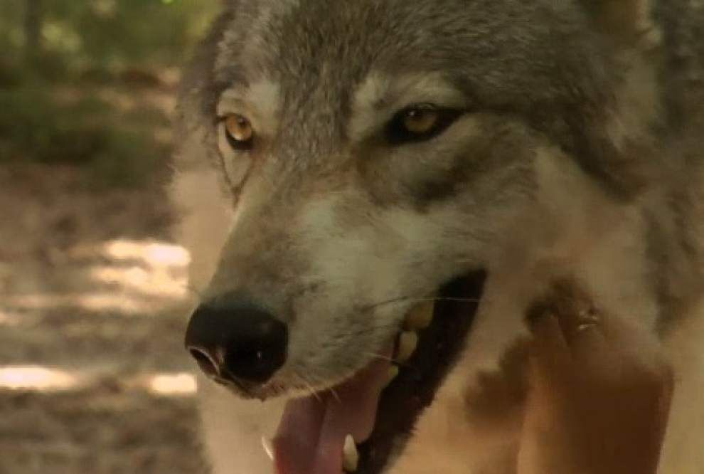 Visitors feel part of pack at wolf preserve _lowres