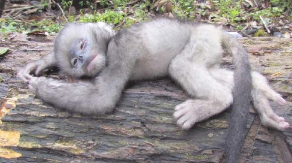 Myanmar monkey species on brink of extinction _lowres