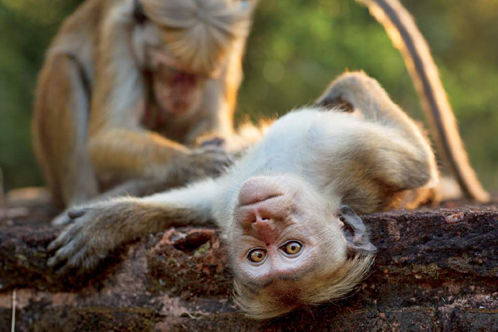 Review: Disneynature explores 'Monkey Kingdom' _lowres