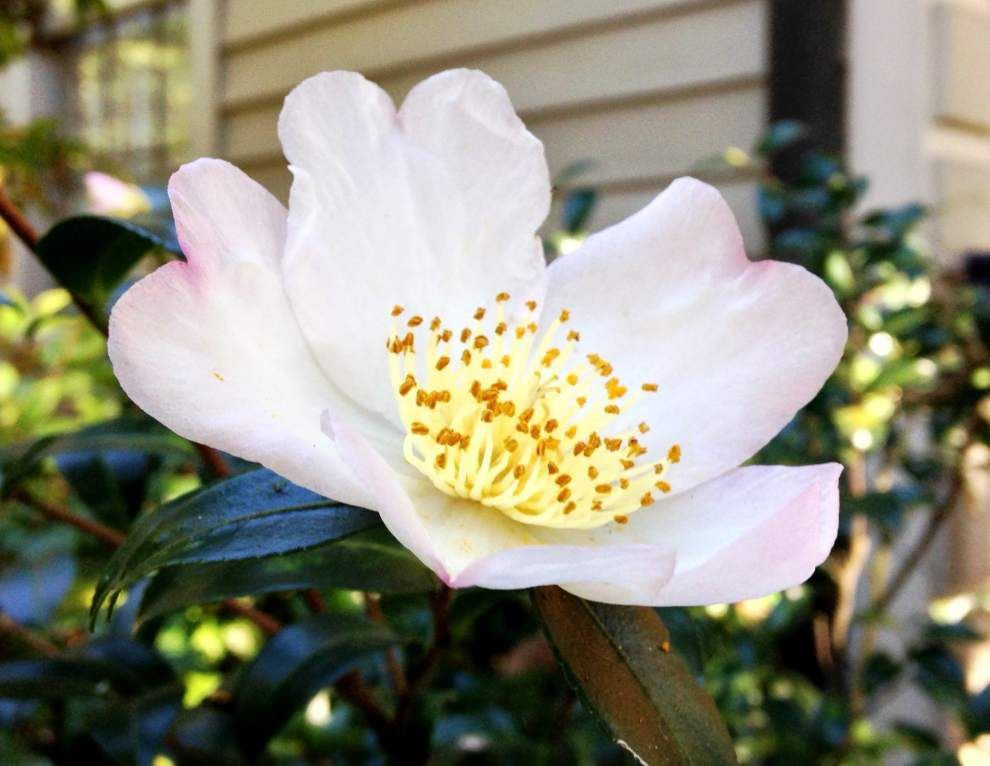 How do you know it's fall in Baton Rouge? Hint: Look out for camellias _lowres