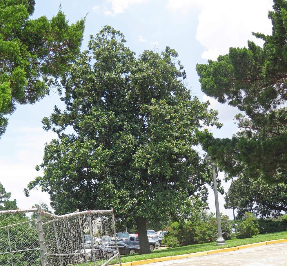 Capitol parking lot to affect trees _lowres