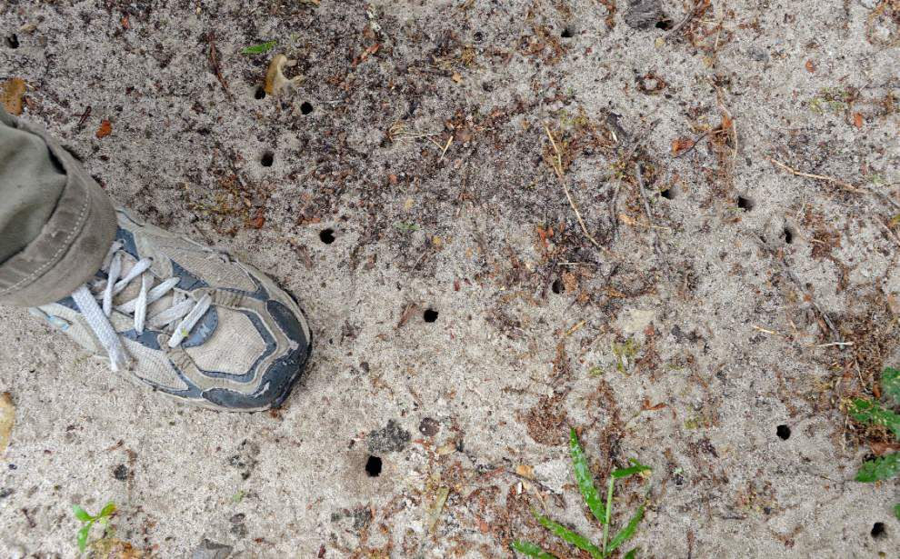 Cicadas return to Baton Rouge after 13 years in dormancy _lowres