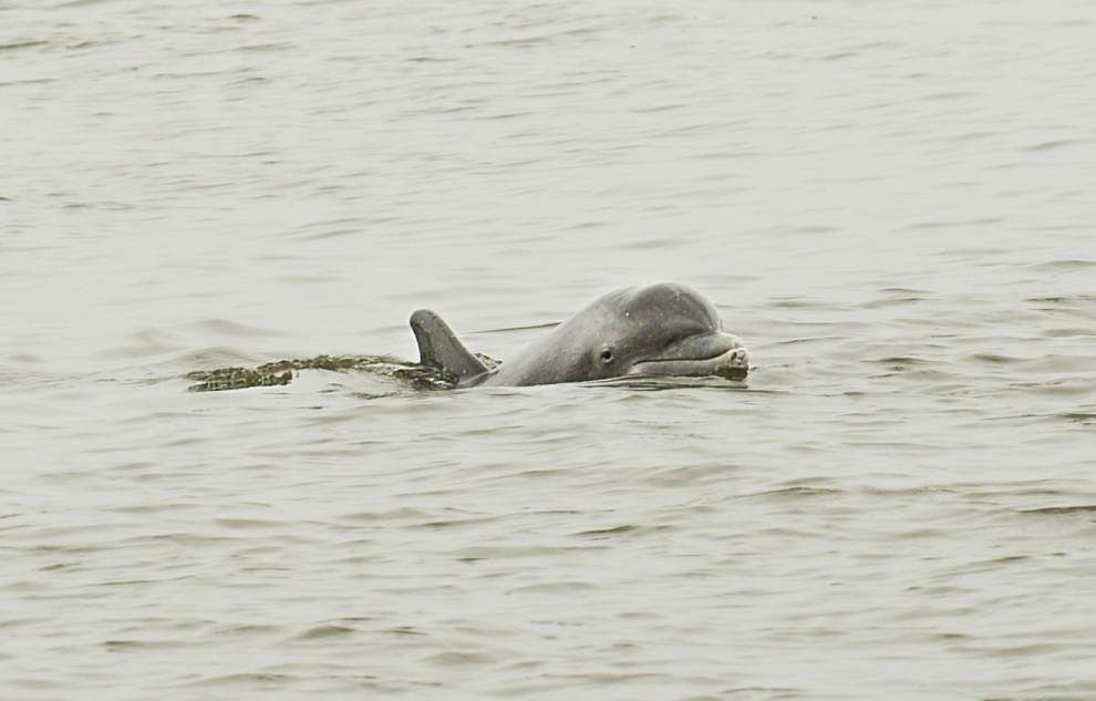 New York Times: Gulf of Mexico deadly for dolphins -- and the rate is rising _lowres