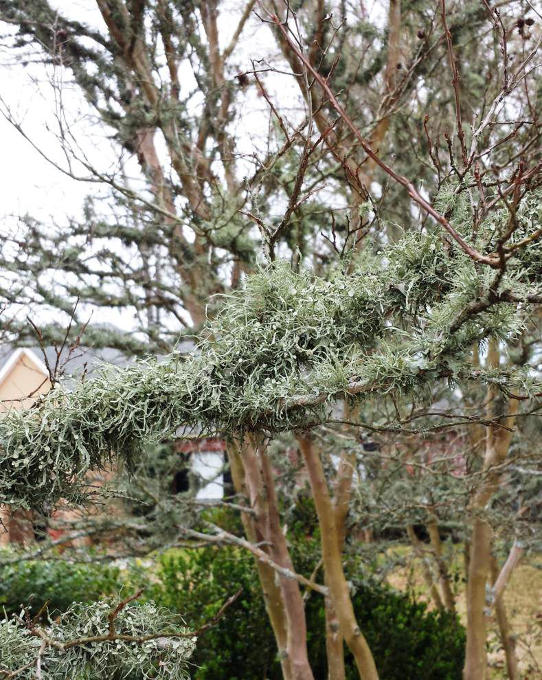 Garden News: It's not great year for crape myrtles _lowres