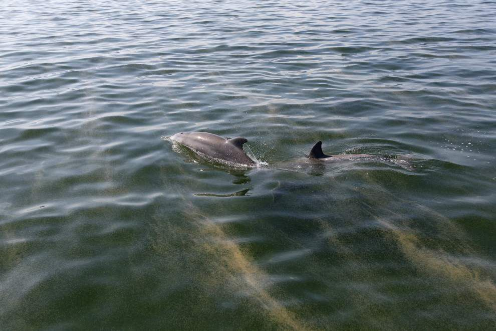 A spike in dolphin deaths in the Gulf of Mexico was likely caused by the animals breathing air following the Deepwater Horizon spill, a new report says _lowres