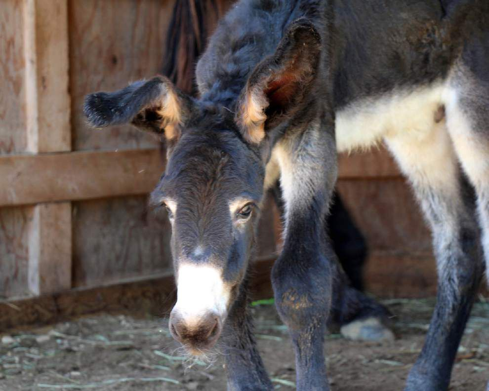 Rare Poitou donkey born in Massachusetts _lowres
