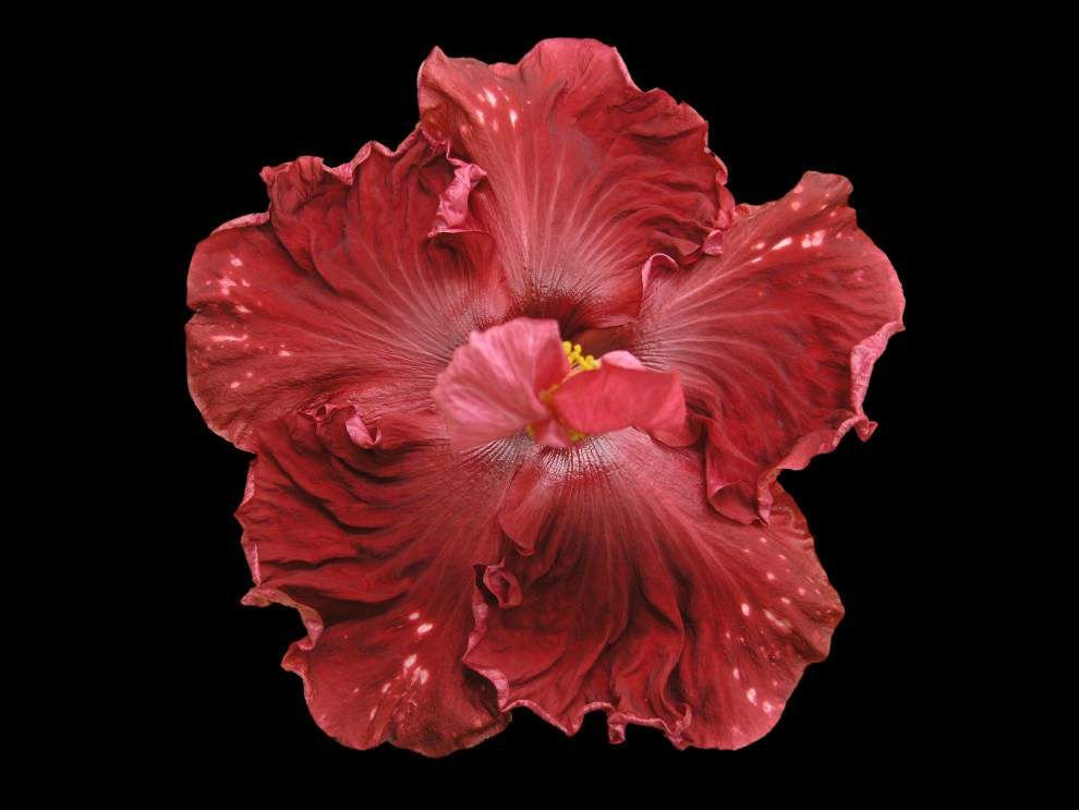 Hibiscus show, sale scheduled _lowres