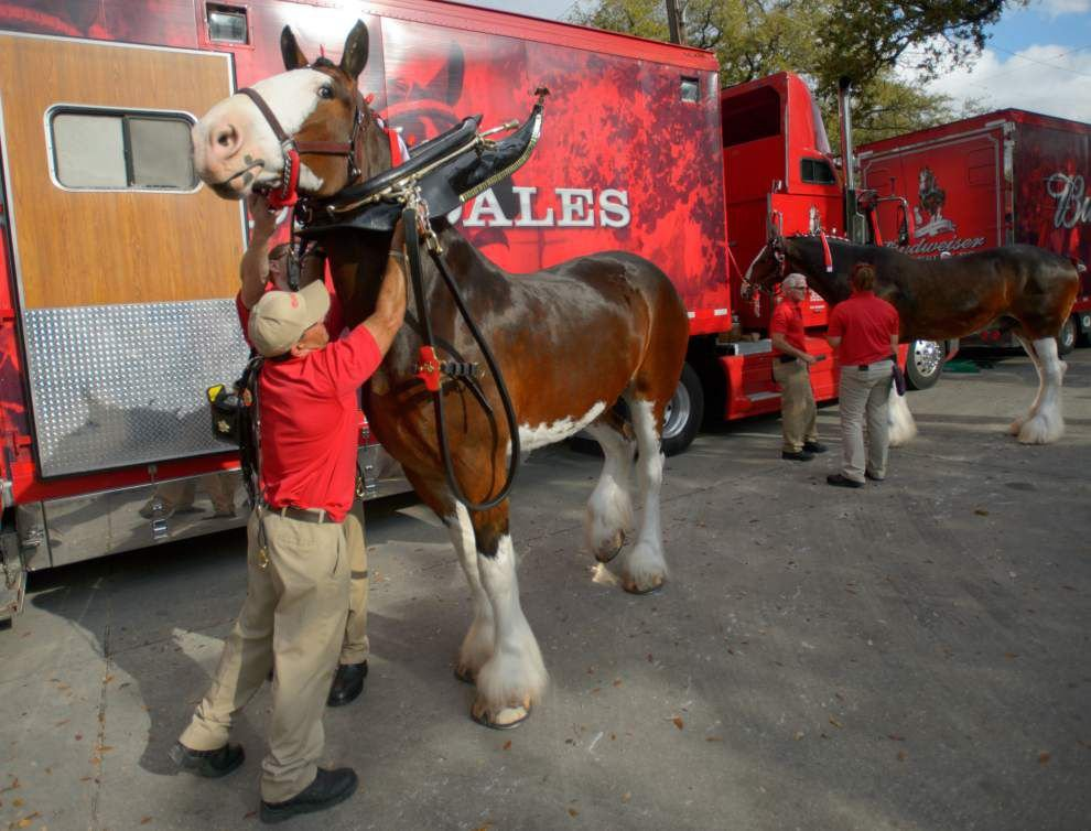 Where you can see the Clydesdales this Mardi Gras _lowres