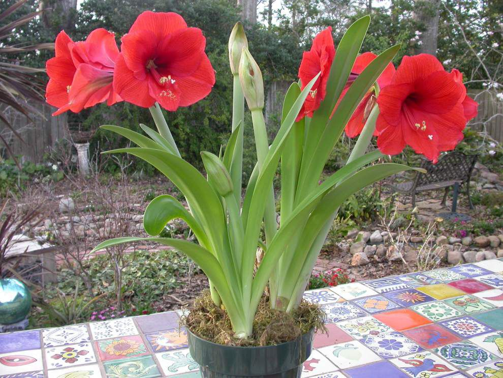 Amaryllis can bloom again with a little care _lowres