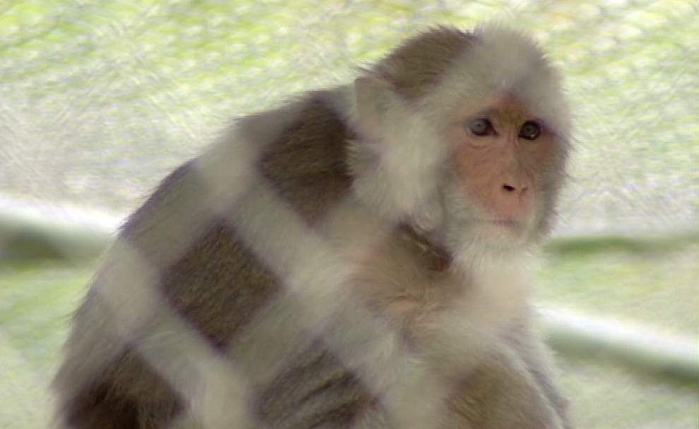 Two more monkeys test positive for bacterium from Tulane lab; local officials cite lack of information _lowres