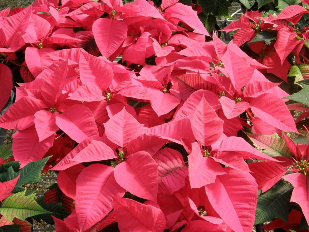 Consider these poinsettia buying tips _lowres