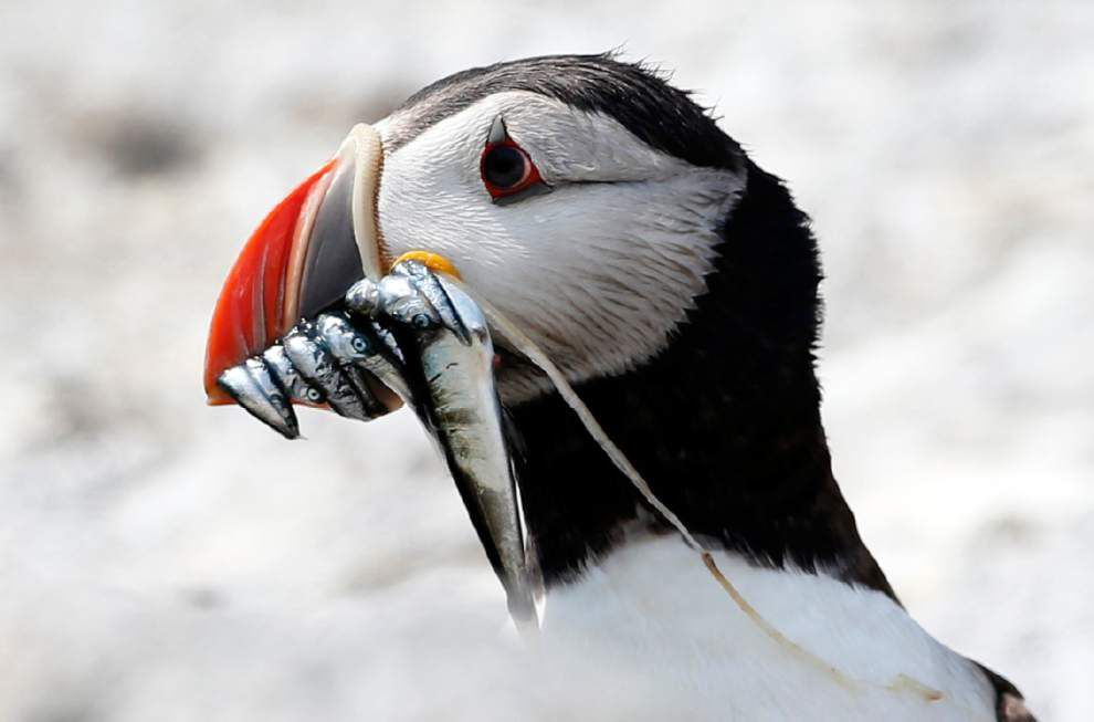 Scientists ask bird oglers to help study puffins _lowres