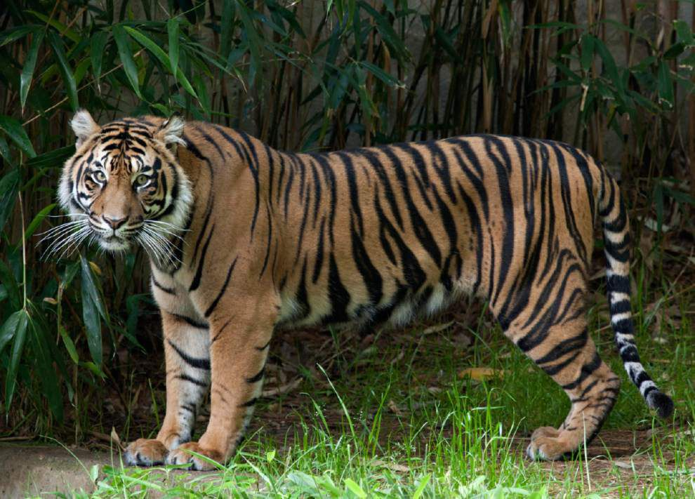 Zoo launches 'endangered song' to help save tigers _lowres