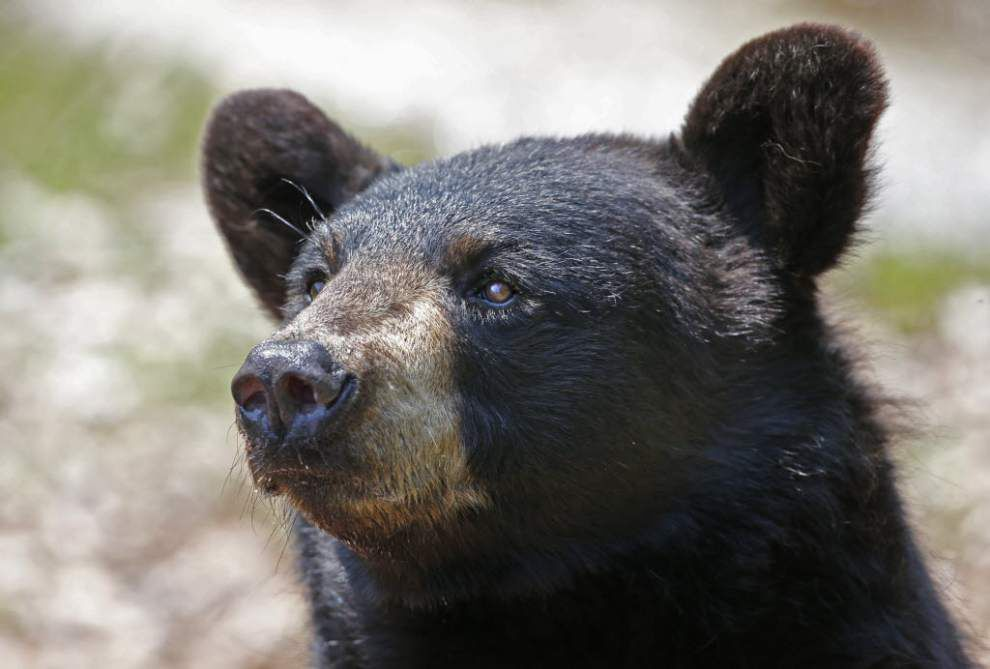 Bear escapes habitat at Texas zoo; no one hurt _lowres