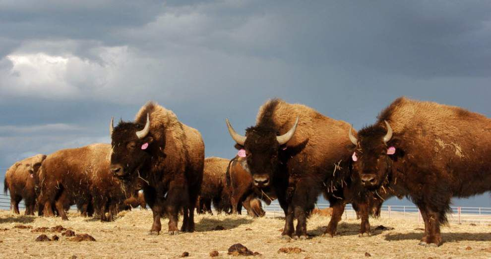 After a century, bison return to Illinois _lowres
