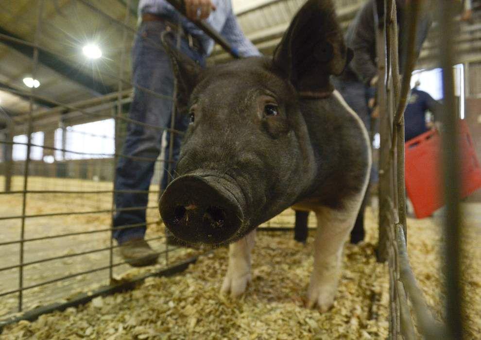 4-H Pet Show, Livestock Show held in Gonzales _lowres