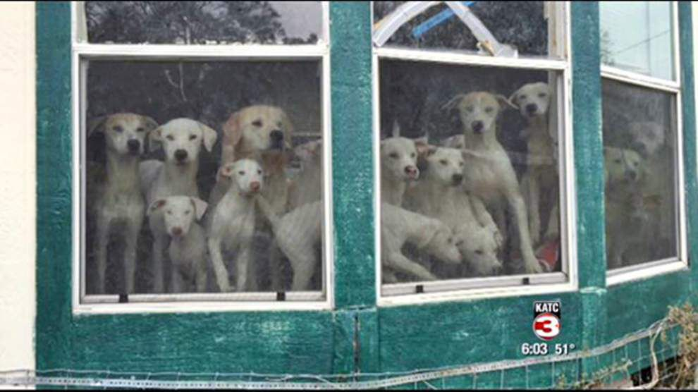 Dogs rescued from St. Martin hoarder, all 40 of them, find new homes _lowres