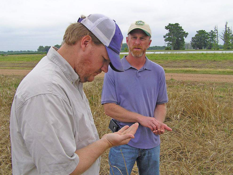 Rain hurting Louisiana wheat crop, affecting others _lowres