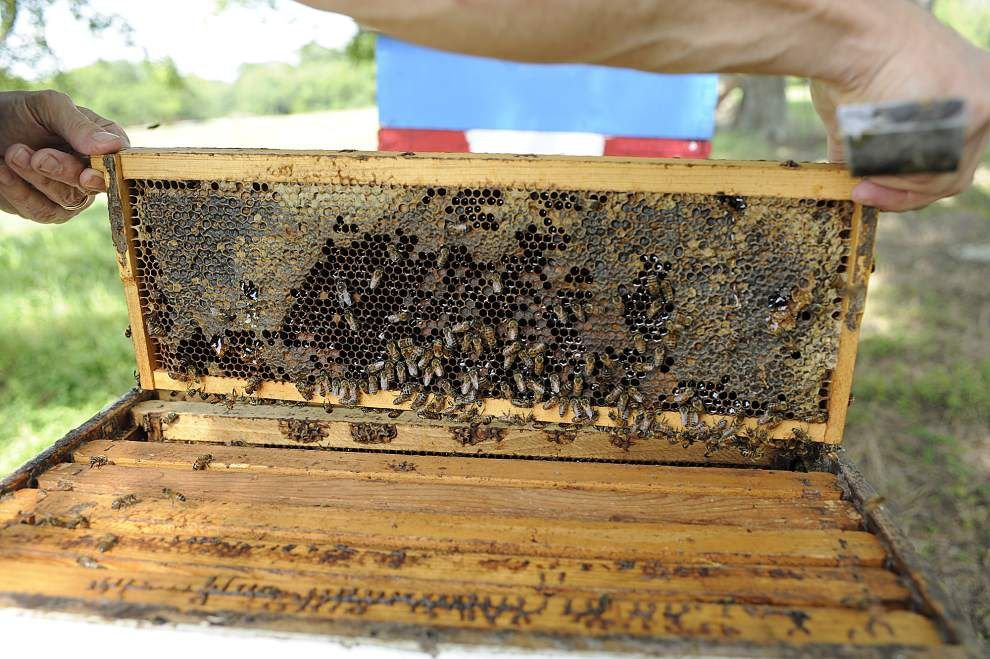 Urban buzz: Lafayette may allow beekeeping within city limits _lowres
