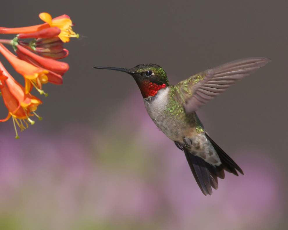 Felicianas set to celebrate hummingbirds _lowres