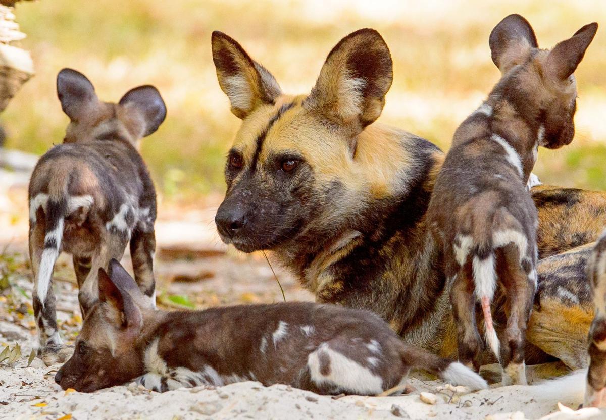 African Dog Breed Crossword