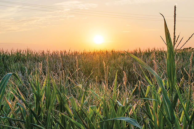 Agronomy Society to opens their A&M themed corn maze