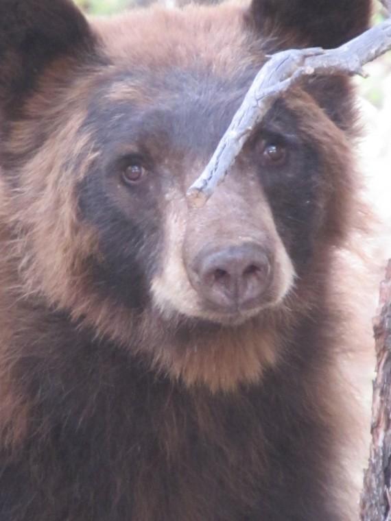 Bear looks